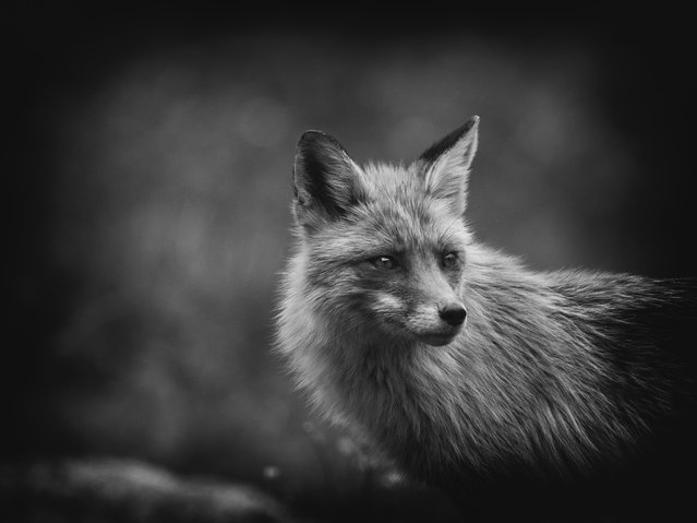 Nature on My Doorstep, finalist. Elish the Fox by Jaroslav Vyhnička, taken in Bilík's Cottage, Slovakia. (Photo by Jaroslav Vyhnička/REDISCOVER Nature/EEA)
