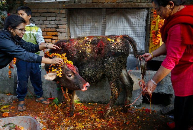A Nepalese devotee bows in front of a cow during the 'Gai Puja', also known as the Cow Worship Day, as part of the Tihar festival in Kathmandu, Nepal, 11 November 2015. The Tihar festival is the second most important event for Nepalese Hindus. During the celebrations people worship cows, considered the incarnation of Lord Laxmi, the god of wealth. (Photo by Narendra Shrestha/EPA)