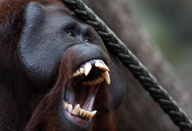 Pongo, a male orangutan, shows his teeth at the Zoo in Muenster, Germany on May 18, 2013. (Photo by Friso Gentsch/AP Photo)