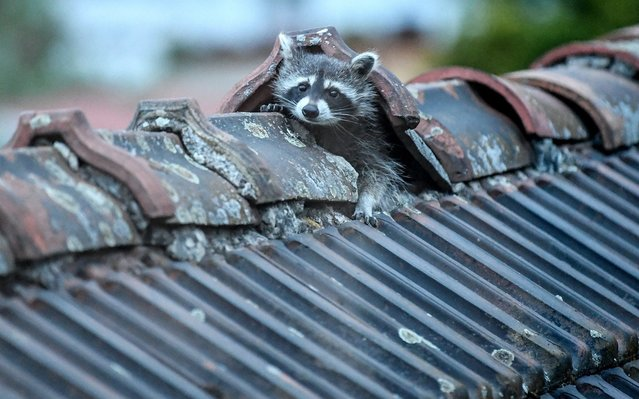 A raccoon crawls out of its hiding place on the roof in Berlin, Germany on May 12, 2020. Every evening he leaves his sleeping place to go in search of food. (Photo by Britta Pedersen/dpa-Zentralbild/dpa)