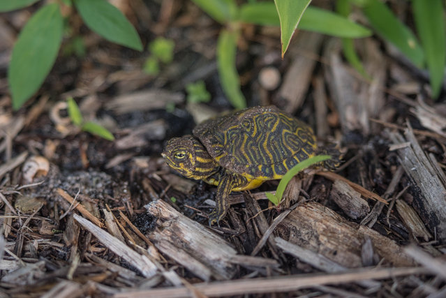 A baby eastern river cooter turtle in Florida is roughly 2.5cm long. (Photo by Ira Mark Rappaport/Alamy Stock Photo)
