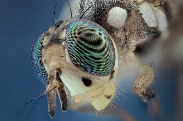 A green-eyed mosquito gives a good stare. (Photo by Javier Ruperez/Solent News & Photo Agency)