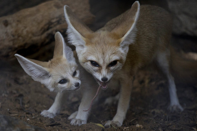A 6-week old Fennec fox, the smallest species of foxes, and a native to the Sahara desert in Africa, looks as its mother eats in the Ramat Gan Safari Park near Tel Aviv, Israel, Sunday, November 6, 2016. Sagit Horowitz, the safari spokeswoman said four Fennec foxes were born about six weeks ago. (Photo by Ariel Schalit/AP Photo)