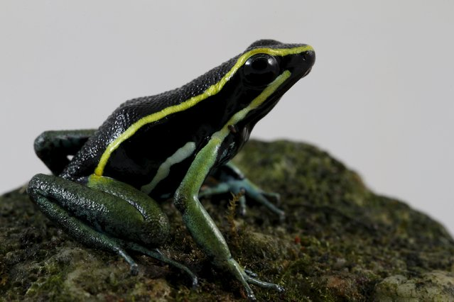 An Ameerega trivittatus frog is pictured at a terrarium in Caracas November 30, 2015. (Photo by Carlos Garcia Rawlins/Reuters)