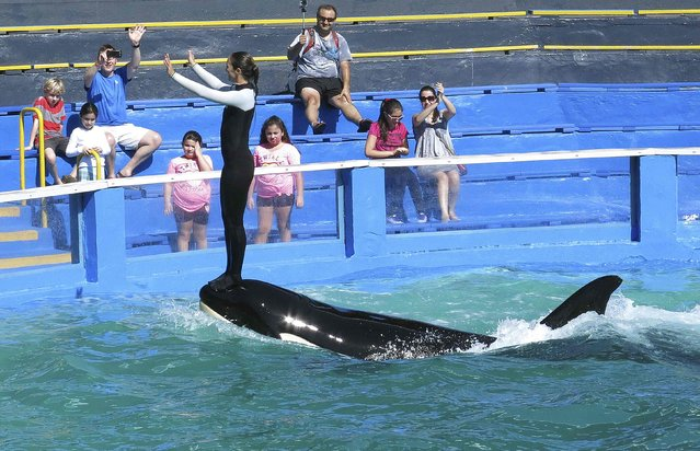 Lolita the Killer Whale and a trainer perform during a show at the Miami Seaquarium in Miami January 21, 2015. (Photo by Andrew Innerarity/Reuters)