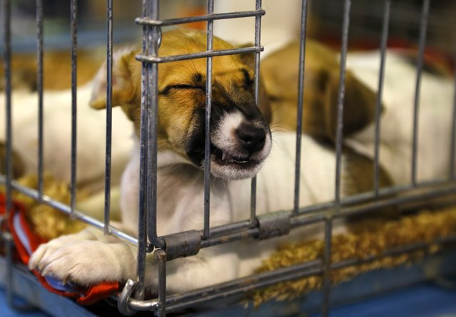 A puppy sleeps in a cage during a two-day dog exhibition in Minsk, Belarus, Sunday, February 1, 2015. (Photo by Sergei Grits/AP Photo)