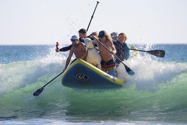 Dana McGregor (L) and Pismo his surfing goat catch a wave with friends while surfing with kids in San Clemente, California, March 19, 2021. McGregor has always loved the thrill of catching a wave, but it wasn't until he took his pet goat surfing with him one day that he truly found his calling. (Photo by Mike Blake/Reuters)