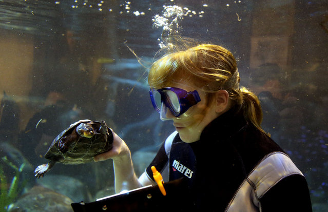 Andrea Swatman lead keeper of Chester Zoo aquarium staff, counts turtles during an annual stocktake at Chester Zoo