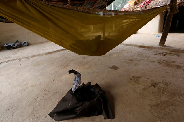 A baby rests in a hammock as a cobra is seen below him in Jogi Dera (snake charmers settlement), in the village of Baghpur, in the central state of Uttar Pradesh, India November 11, 2016. (Photo by Adnan Abidi/Reuters)