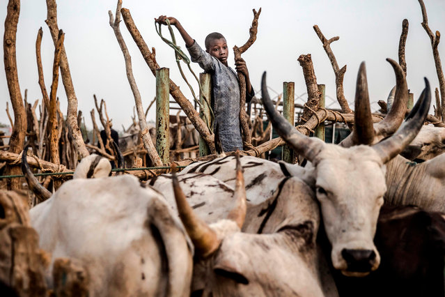 A boy who helps cattle herders to lead their livestock, tries to gather some of the cows at a livestock market in Ngurore, Adamawa State, Nigeria on February 20, 2019, just a few days ahead of the country's general election. Nomadic cattle herders and farmers are fighting in near-daily clashes that have left thousands dead in Nigeria and hundreds of villages affected. Both farmers and herdsmen hope the next government would settle their bloody feud. Over the past two years, the fighting has grown more bloody and more politicised with Nigeria's incumbent President being accused of backing herders. (Photo by Luis Tato/AFP Photo)