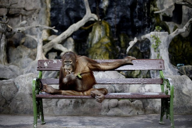 A photo made available 29 February 2016 shows an orangutan leached to a bench waiting for visitors to take a photo at a zoo in Bangkok, Thailand, 28 February 2016. Orangutans are an endangered species divided in two sub-species, the Sumatran and the Bornean orangutan differing slightly both in appearance and behavior. According to conservation groups, the world orang-utan population has declined from 230,000 in the early 1900's to about 45,000 orangutans living in Borneo and Sumatra these days. (Photo by Diego Azubel/EPA)
