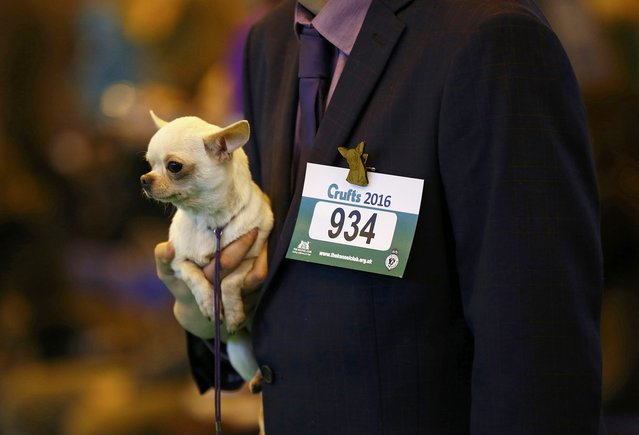 A Chihuahua is held during judging on the first day of the Crufts Dog Show in Birmingham, Britain March 10, 2016. (Photo by Darren Staples/Reuters)