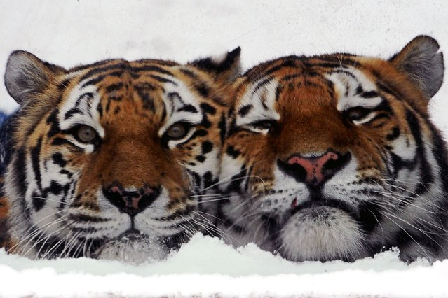 Amur tigers sit in their cage at the Leningrad Zoo in St-Petersburg on February 2, 2014. (Photo by Olga Maltseva/AFP Photo)