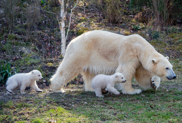 A handout photo issued by Tierpark Hellabrunn and dated March 17, 2014 shows polar bear Giovanna and her twins in the outdoor enclosure of the zoo Hellabrunn in Munich, Germany. The polar bear twins were born two weeks ago. (Photo by Marc Mueller/EPA)