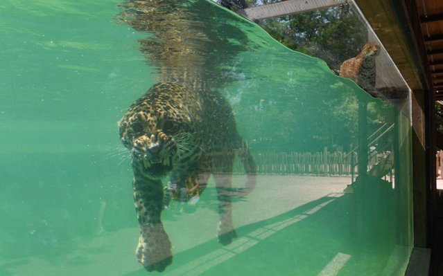 A jaguar cools off in the pool of the Bordeaux-Pessac Zoo in Pessac, southwestern France, on June 26, 2019, during an ongoing heatwave across Europe. Authorities raised alerts on June 26 as Europe's record-breaking early-June heatwave threatened to intensify with temperatures heading into the 40s Celsius. (Photo by Mehdi Fedouach/AFP Photo)