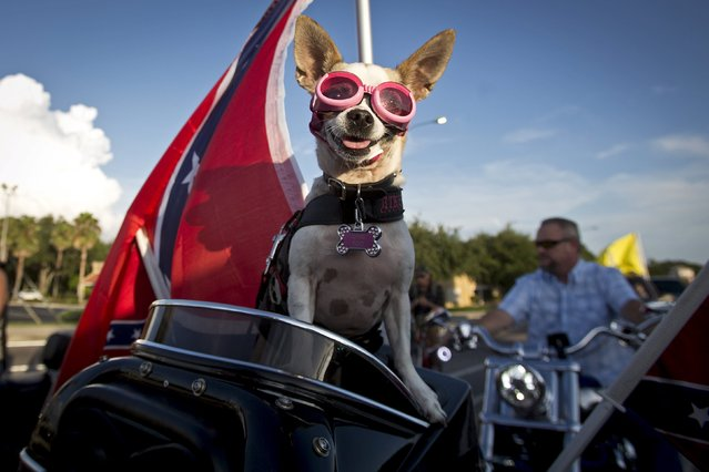 "Dixie Poo rides on the back of his owner's bike during the ""Ride for Pride"" impromptu event to show support for the Confederate flag in Brandon, Hillsborough County, June 26, 2015. (Photo by Carlo Allegri/Reuters)"