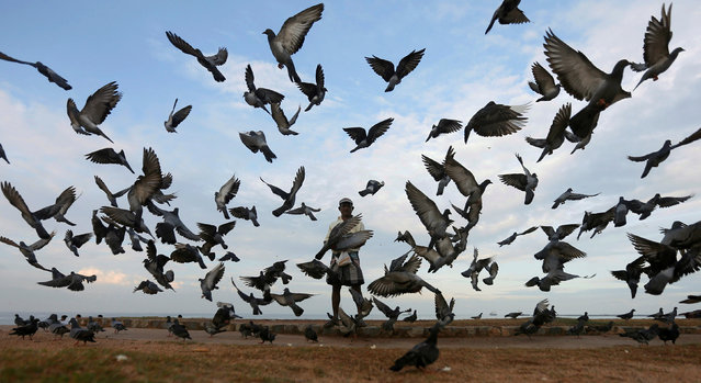 A man feeds pigeons on an early morning near a beach in Colombo, Sri Lanka January 22, 2017. (Photo by Dinuka Liyanawatte/Reuters)