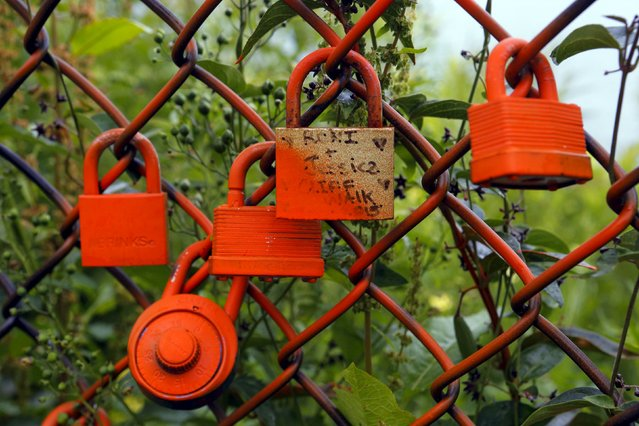 Locks hang on a fence along the Cliff Walk in Newport, Rhode Island July 14, 2015. (Photo by Brian Snyder/Reuters)