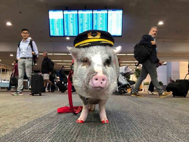 LiLou the therapy pig stands in front of a departures board at San Francisco International Airport in San Francisco, California, U.S. October 4, 2019. (Photo by Jane Ross/Reuters)