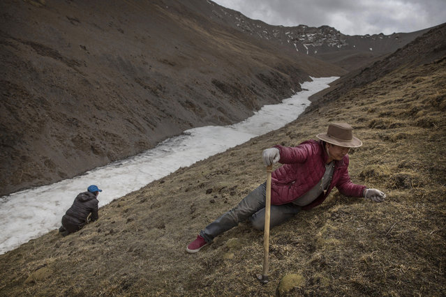 Tibetans crawl at high altitude while picking cordycep fungus on May 23, 2016 on the Tibetan Plateau near Zadoi in the Yushu Tibetan Autonomous Prefecture of Qinghai province. (Photo by Kevin Frayer/Getty Images)