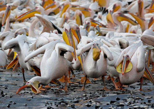 Great white pelicans eat fish provided by Israeli farmers at a water reservoir in the Emek Hefer valley north of the Israeli city of Tel Aviv on November 15, 2019. An estimated 50,000 pelicans stop off in Israel during their annual migration from the Balkans to Africa, where they enjoy a mild winter before returning to Europe. They rest and feed for weeks, causing chaos for fish farmers, whose outdoor commercial pools and reservoirs provide rich pickings. Farmers have tried to deter them with loudspeakers, laser beams and by firing blank rounds from rifles. In their desperation, they have come up with another way: offering the birds a free lunch. (Photo by Menahem Kahana/AFP Photo)