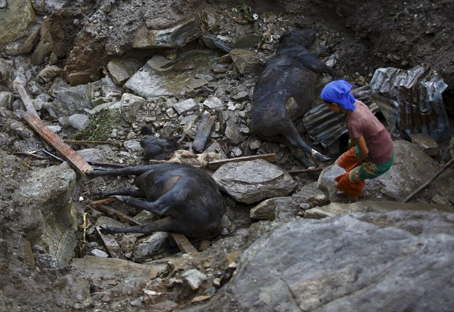 A woman walks past the dead cattle at the landslide-affected area at Lumle village in Kaski district July 30, 2015. (Photo by Navesh Chitrakar/Reuters)
