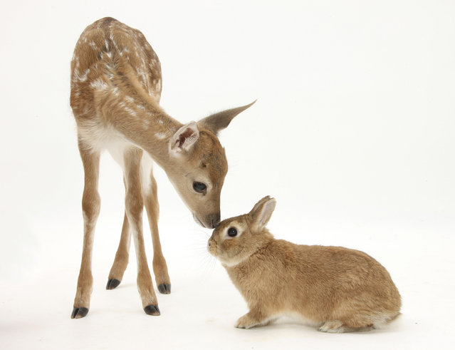 Taylor borrowed this young deer from Taylor's sister's animal rescue center, while the rabbit is one of his star extras