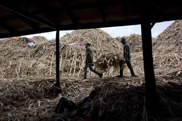 In this June 19, 2017 photo, Jean Rodelin Phillipe, 29, left, carries bagasse with Maxioner Laurent, 24, to be burned in a furnace at the Ti Jean distillery, which produces clairin, a sugar-based alcoholic drink, in Leogane, Haiti. Bagasse is the fiber left over after pressing the juice from the sugar cane, and is used to feed the fire that cooks clairin. (Photo by Dieu Nalio Chery/AP Photo)