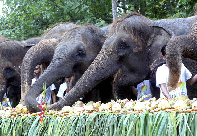 Some 10 endangered Sumatran elephant have more than 600 kilograms (1,320 pounds) of fruits at Bali Zoo in Bali, Indonesia, Saturday, August 12, 2017 to celebrate World Elephant Day. The zoo currently has 13 Sumatran elephants. (Photo by Firdia Lisnawati/AP Photo)