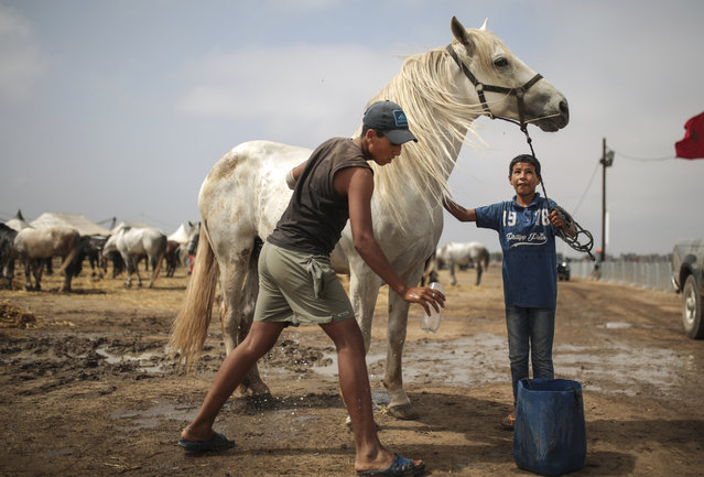 In this Thursday, August 17, 2017 photo, kids wash their horses as they are prepared for Tabourida, a traditional horse riding show also known as Fantasia, in Mansouria, near Casablanca, Morocco. (Photo by Mosa'ab Elshamy/AP Photo)