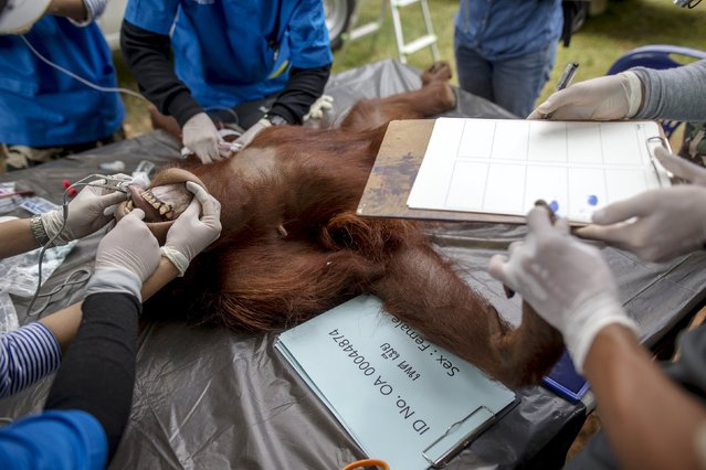 Thai veterinarians collect the fingerprints of an orangutan during a health examination at Kao Pratubchang Conservation Centre in Ratchaburi, Thailand, August 27, 2015. (Photo by Athit Perawongmetha/Reuters)