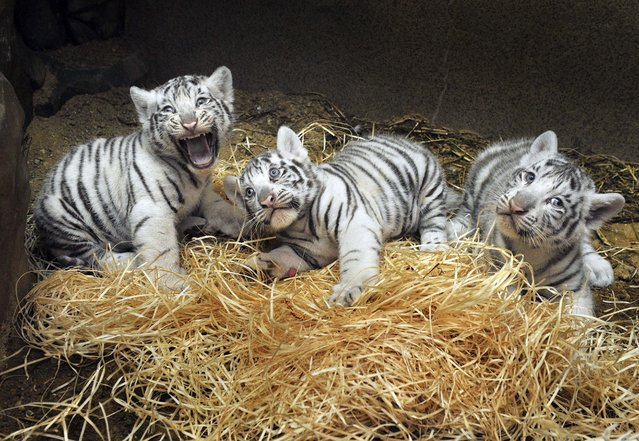 Three white Indian tiger cubs, born on July 1, 2012 in Liberec Zoo, Czech Republic, were vaccinated, weighted and chipped during a veterinary examination on Wednesday, August 22, 2012. Two of them are male, one is female, the vet found out. The female cub weighs approximately 6,3 kilos, the males weigh around 6,9 kilograms each. (Photo by Radek Petrasek/AP Photo/CTK)