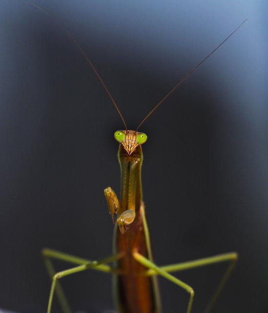 A praying mantis stands on a fence at Scranton Memorial Stadium in Scranton, Pa. on Friday, August 29, 2014. (Photo by Michael J. Mullen/AP Photo/Scranton Times-Tribune)