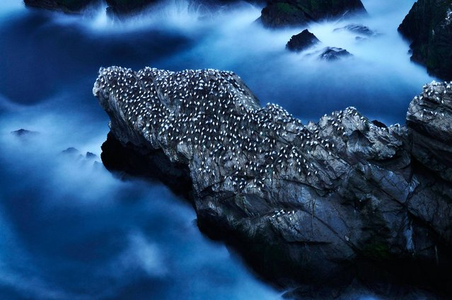 """A Life at Sea - Nesting Gannets"". Habitat category winner. (Photo by Ruth Asher/British Wildlife Photography Awards 2014)"