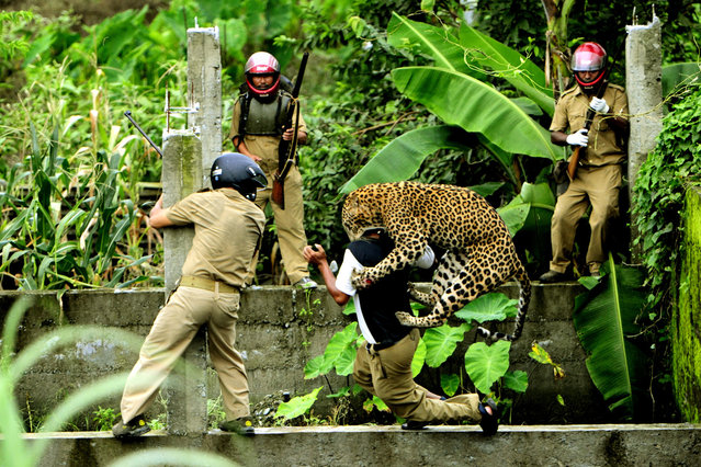 Man and Animal Conflict: A Leopard attacks a forest department employee, after the man threw a stone toward the leopard in an abandoned construction site in Limbu Village in Siliguri in West Bengal, India. (Photo by Salil Bera/National Geographic Photo Contest