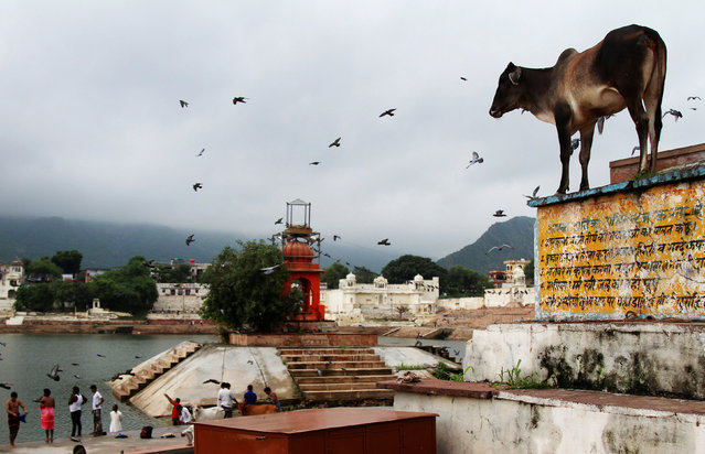 A cow stands outside a temple at a lake in Pushkar, in the desert state of Rajasthan, India August 5, 2016. (Photo by Himanshu Sharma/Reuters)
