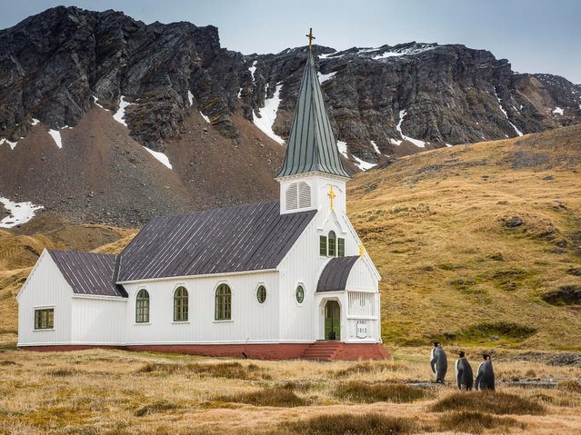 Three king penguins approach the only church on South Georgia Island appearing to be headed for services. Titled as Mom, do we always have to be the first ones at church? (Photo by Carl Henry/Comedy Wildlife Photography Awards/Barcroft Media)