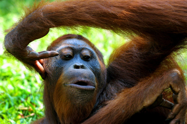 An adult male Orangutan relaxes September 1, 2001 near Camp Leakey at the Tanjung Puting National Park in Kalimantan on the island of Borneo, Indonesia. (Photo by Paula Bronstein/Getty Images)
