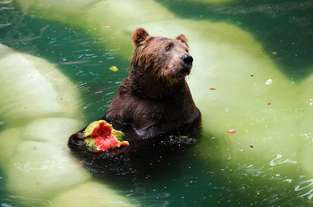 A Brown bear (Ursus arctos) eats watermelon whilst cooling itself down in a pool at the Zoo in Rio de Janeiro, January 9, 2013. (Photo by Vanderlei Almeida)