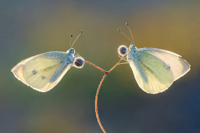 """""""Two Pieris brassicae rest on a plant, waiting for sunshine"""". (Photo and comment by Petar Sabol, Croatia/2013 Sony World Photography Awards"""