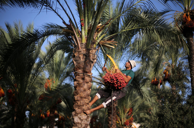 A Palestinian farmer harvests dates from a palm tree in southern Gaza September 25, 2016. (Photo by Ibraheem Abu Mustafa/Reuters)