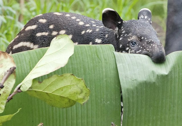 A young Malayan male tapir (Tapirus indicus) stands in the enclosure  in the zoo in Leipzig, Germany, Sunday March 10, 2013. The tapir was born on February 9  and has no name yet. (Photo by Jens Meyer/AP Photo)