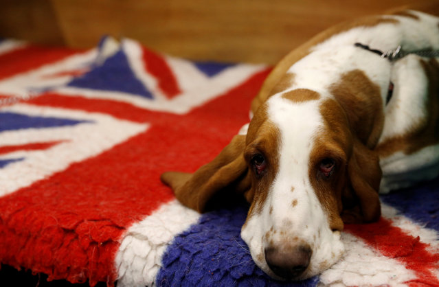 A Basset Hound rests on its bench during the second day of the Crufts Dog Show in Birmingham, Britain March 9, 2018. (Photo by Darren Staples/Reuters)