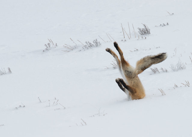 A tough day at the office for this fox in Yellowstone National Park, USA, December 2015. (Photo by Angela Bohlke/Barcroft Images/Comedy Wildlife Photography Awards 2016)