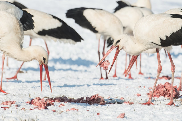 Storks feed on a meadow in the village of Targowisko, central Poland, 23 March 2018. A flock of nearly 200 storks stay already for several days in the village due lack of strenght and lack of food to countinue their flight. Residents of the villages and nearby towns feed birds to help them survive hard conditions, as spring didn't come to Poland yet and in some regions there is still snow. (Photo by Wojciech Pacewicz/EPA/EFE)
