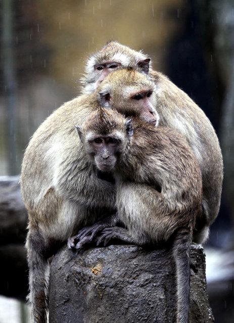 Long-tailed macaques (Macaca fascicularis) huddle to keep warm druing rain at the Taipei Zoo in Taipei, Taiwan, on April 14, 2013. (Photo by David Chang/EPA)