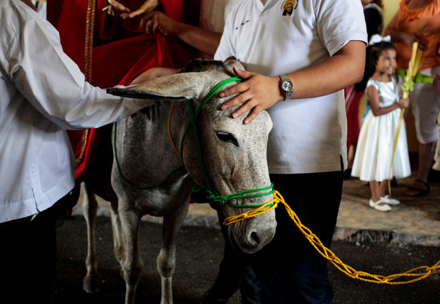 Catholics prepare a donkey ahead of participating in the Palm Sunday procession at the Metropolitan Cathedral in Managua, Nicaragua March 25, 2018. (Photo by Oswaldo Rivas/Reuters)