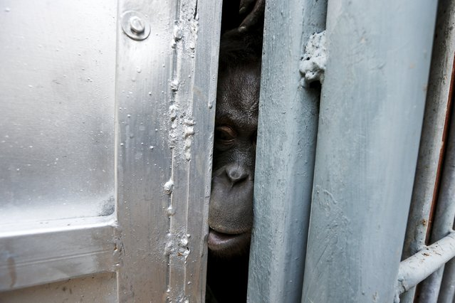 An orangutan look out from inside a cage during preparations for the apes' repatriation to Indonesia at Kao Pratubchang Conservation Centre in Ratchaburi, Thailand, November 11, 2015. (Photo by Athit Perawongmetha/Reuters)