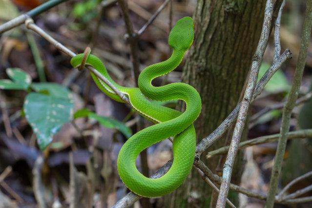 A yellow-lipped green pit viper snake in Thailand. (Photo by Sirichai Raksue/Alamy Stock Photo)