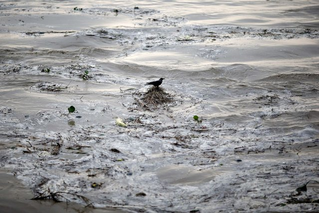 A crow sits over the floating bushes in the flooded waters of river Yamuna after heavy monsoon rains in New Delhi June 18, 2013. The rains are at least twice as heavy as usual in northwest and central India as the June-September monsoon spreads north, covering the whole country a month faster than normal. (Photo by Ahmad Masood/Reuters)